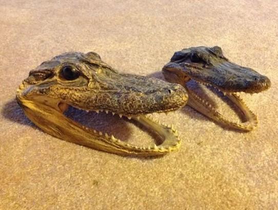 taxidermy alligator head